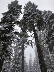 In the Spirit (Ruth and Dave) Tags: whistler whistlerblackcomb blackcombmountain inthespirit crystalzone fog mist gladedrun evergreen monochrome conifer lookingup skiresort atmospheric moody weather weatherphotography