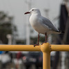 Gull on thirds (OzzRod) Tags: pentax k1 smcpentaxk200mmf4 bird gull seagull silvergull railing yellow wickham square singleinmay2018