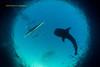 Feeding Whale Shark (kayak_no1) Tags: nikon d800e nauticamhousing 15mmsigmafisheye fisheye ysd1 underwater underwaterphotography wa wideangle diving scubadiving uw moalboal philippines whaleshark obslob cebu