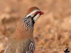 Perdiz roja (Jose A Amado Hidalgo) Tags: perdiz perdizroja perdiuroja epergorria redleggedpartridge galliforme phasianidae alectorisrufa