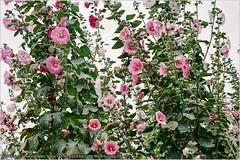 員林拍蜀葵 (猜猜 Guess TSAI) Tags: topcon 35s tokyo kogaku topcor f44cm f2 fuji c200 442 japan 彰化 員林 蜀葵 flower