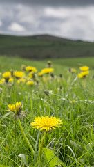Dandelions (l4ts) Tags: landscape derbyshire peakdistrict whitepeak cressbrookdalenationalnaturereserve grassland dandelions tansleydale wardlowhaycop