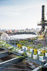 _DSC6067 (Valery Rizzo) Tags: urbanfarm urbanagriculture urbanfarming rooftopfarm rooftopfarming hops hopsfarm tinyfield tinyfieldrooftopfarm brooklyn nyc