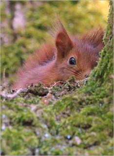 Écureuil roux - Red squirrel (Sciurus vulgaris)