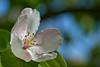 Quince Blossom (pstenzel71) Tags: bäume natur pflanzen quitte quince flower blossom blüte darktable bokeh