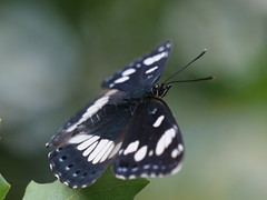 Southern White Admiral (dougskik) Tags: butterfly white admiral lepidoptera france wildlife insect butorides limenitis reducta southern