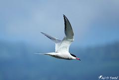 Sterne pierregarin (Jean-Daniel David) Tags: oiseau oiseaudeau nature lac lacdeneuchâtel yverdonlesbains réservenaturelle vol sternepierregarin bokeh hirondelledemer closeup