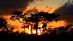 Sunset April 24th (Jim Mullhaupt) Tags: sunset sundown dusk sun evening endofday sky clouds color red gold orange pink yellow blue tree palm outdoor silhouette weather tropical exotic wallpaper landscape nikon coolpix p900 jimmullhaupt manateecounty bradenton florida cloudsstormssunsetssunrises