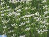 IMG_3696 (superingo78) Tags: eifel monschau felder gras grün natur blumen blüten