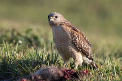 Red-shouldered Hawk with Breakfast (Simon Stobart (Catching Up and Editing)) Tags: redshouldered hawk buteo lineatus roadkill grass ground eating usa florida coth5 ngc