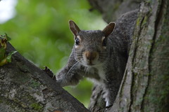 """Stare Down"" (Beangrau12) Tags: dogwood2018 week20 compositionfrombelow tree squirrel leaves bark lookup tamron16300mm nikon3200"