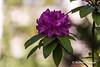 Flores en el Campo o Parque de San Francisco de Oviedo, Principado de Asturias, Españpa. (RAYPORRES) Tags: 2018 mayo flores oviedo campodesanfrancisco españa principadodeasturias