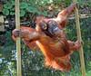 orangutan Samboja and Indah Apenheul BB2A1057 (j.a.kok) Tags: orangutan orangoetan orang animal aap ape asia azie mammal monkey mensaap motherandchild moederenkind primaat primate zoogdier dier apenheul samboja indah