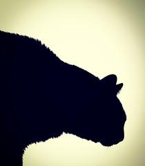 silhouette (Pepenera) Tags: gatto gato gatti cat cats chat