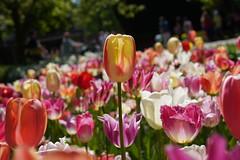 DSC08824 (PeterazziMuilman) Tags: keukenhof keukenhof2018 tulipsgarden flowergarden lisse colorful bulbs romanceatkeukenhof sony sonya7r3 alpha7rm3 a7r3 ilce7rm3 ilcea7r3 sel2470gm sonyfe2470f28gm sonyfe282470gm