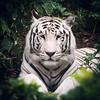 Belleza salvaje (I) (A M G) Tags: mamiferos naturalezaviva viajes puertodelacruz tenerife loroparque fauna lugares españa felinos