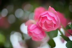 rose (slowhand7530) Tags: nikon d800e carlzeiss makroplanart250zf makroplanar macroplanar makroplanart250 rose