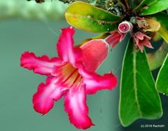 DSC_0399 (RachidH) Tags: flowers blossoms blooms desert rose desertrose adeniumobesum rosedudésert sabistar kudu azalea mockazalea impalalily lis lily lisdesimpalas carribean westindies antilles meadsbay anguilla rachidh nature