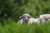 Hello, is it me you're looking for (Paul Wrights Reserved) Tags: lamb lambs sheep spring focus bokeh ears ear cute adorable smileonsaturday sos bokehlicious greatphotographers