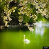 Retotno... (Miamy7) Tags: naturalezacautivadora naturaleza lago lake swan cisne puigcerdà primavera spring flores flowers verde green