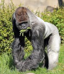 western lowlandgorilla Bokito BB2A6111 (j.a.kok) Tags: gorilla westelijkelaaglandgorilla westernlowlandgorilla lowlandgorilla laaglandgorilla animal africa afrika blijdorp aap ape mammal monkey mensaap zoogdier dier bokito