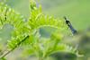 Lindas manchas anaranjadas :) (cesarcuadros86) Tags: mariposa verde anaranjando azul marino naturaleza zygaena aire libre macrofotografía hierba perú butterfly insecto bug nature nikon d3400 natureselegantshots