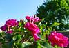 Mes Amies les Roses (Le.Patou) Tags: fleur flower iris printemps spring rose pink bouquet bunch massif display rosier rosebush jardin garden yard maison home hardy slimane amour love amitié friendship ami friend