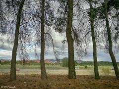 013210 - Alcalá de Henares (M.Peinado) Tags: pino pinos árbol árboles pinar alcaládehenares comunidaddemadrid españa spain 10052017 mayode2017 2017 huaweyp9lite huawey ccby