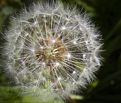 Just waiting for the wind (BUTEOGRAPHYGIRL) Tags: seeds dandelion white sparkle green plant nature macro dof