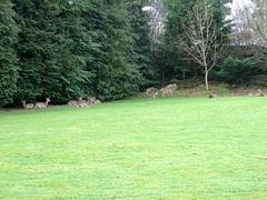 The deer were laying under the trees to stay out of the rain when we arrived (debstromquist) Tags: deer sikadeer louiseshouse stepaside countydublin ireland spring rainyday