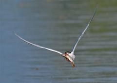 the one that didn't get away (Paul Wrights Reserved) Tags: fish tern commontern bird birding birdphotography birds birdwatching birdinflight birdofprey birdofpreyinflight fishing fisherman