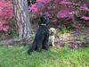 (Jean Arf) Tags: highlandpark rochester spring 2018 azalea blossom flower bush tree dog poodle dusty miniaturepoodle apricot nash standardpoodle