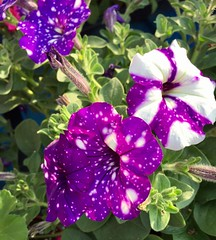 Speckled Petunias (stashheap) Tags: petunias speckled purple flowers