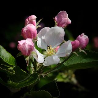 Apple Blossom 2018