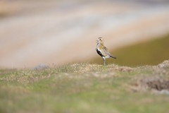 Spirit of the Moors-Golden Plover (www.andystuthridgenatureimages.co.uk) Tags: golden plover male calling yorkshiredales moor moorland wader