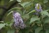 DSC08081 (Old Lenses New Camera) Tags: sony a7r graflex graftar wollensak 103mm f45 plants garden trioptar tree flowers lilac