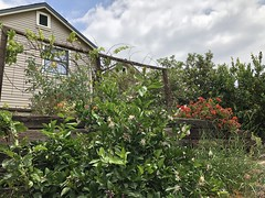 fullsizeoutput_8533 (lnewman333) Tags: highlandpark losangeles ca usa nela northeastlosangeles socal southerncalifornia spring springtime flowers blooming garden backyard lemontree citrus fruit geranium meyerlemontree