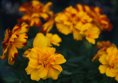 DSC08235 (Old Lenses New Camera) Tags: sony a7r reichert neupolar 100mm f63 macro plants garden flowers marigolds