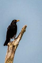 Black Bird (_John Hikins) Tags: bird birds black blackbird animal nikon nikkor nature sigma devon d500 dawlish warren branch 150600mm 150600c 150600 worm snack eating