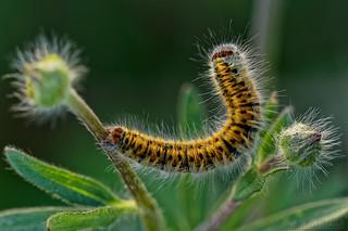 Lasiocampa trifolii - Bombyx du trèfle