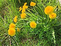 Afternoon Dandelions, HDR (sjrankin) Tags: 20may2018 edited hokkaido japan yubari flowers weeds dandelion grass hdr