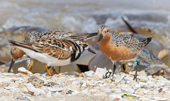 Feasting on Horseshoe Crab Eggs (tresed47) Tags: aquatic birds content crab horseshoecrab redknot shorebirds