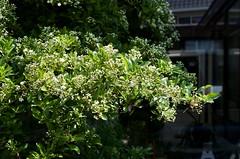 fullsizeoutput_cdad (Fan Majie 範瑪姐) Tags: mayflower herenstraat tuinstadstaalwijk leiden