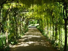 The John Beer Laburnum Walk iv (Gilder Kate) Tags: pembrokelodge richmondpark richmond laburnum arch walk johnbeer chargehand laburnumwalk panasoniclumixdmctz70 panasoniclumix panasonic lumix dmctz70 tz70 royalparks royalpark