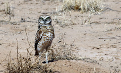 Burrowing Owl (Athene cunicularia); Los Lunas, NM [Lou Feltz] (deserttoad) Tags: nature newmexico bird wildbird wildlife raptor owl desert behavior migration
