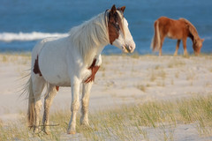 Protective Services (Michael Rickard) Tags: beach assateague assateagueisland nationalseashore maryland wildlife wildhorses horses ocean blue nps nationalparkservice findyourpark