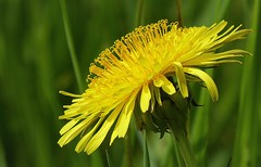 Dandelion, an annoying weed or a beautiful flower...... (joeke pieters) Tags: 1390234 panasonicdmcfz150 paardenbloem dandelion bloem flower onkruid weed wildflower geel yellow