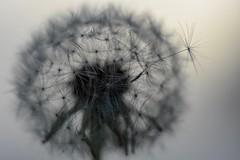 Dandelion (agnieszka.a.morawska) Tags: beyondbokeh bokehlicious bkhq wiosna helios44m helios sky spring nature macro dof bokeh dmuchawiec dandelion