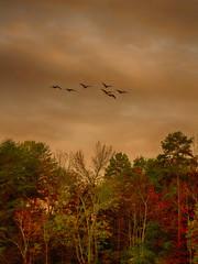 Lake Wylie, North Carolina: Migration (rocinante11) Tags: birds geese migration lakewylie canoneos7d orange fallcolor northcarolina