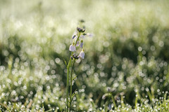 bokeh de printemps (christophe.laigle) Tags: gouttes printemps christophelaigle fleur macro bokeh lumière nature flower fuji drops rosée raindrops xpro2 xf60mm light